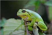 im Brombeergestrüpp... Europäischer Laubfrosch *Hyla arborea*