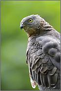 gelbe Augen, grauer schmaler Kopf... Wespenbussard *Pernis apivorus*