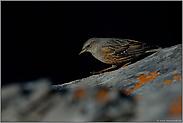 heimlich, still und leise... Alpenbraunelle  *Prunella collaris*