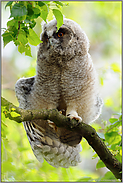Flügel recken... Waldohreulenästling *Asio otus*