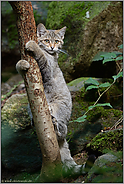 am Kratzbaum... Europäische Wildkatze *Felis silvestris*