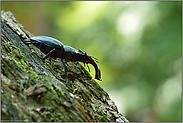 unser größter einheimischer Käfer... Hirschkäfer *Lucanus cervus*