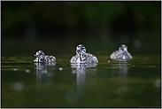 drei Halbstarke... Haubentaucher *Podiceps cristatus*