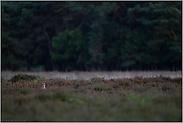 in der Heide... Rotfuchs *Vulpes vulpes*