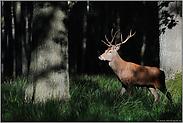 im dunklen Wald... Rothirsch *Cervus elaphus*