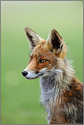 Reineke Fuchs... Rotfuchs *Vulpes vulpes*