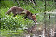 trinkender Fuchs... Rotfuchs *Vulpes vulpes*
