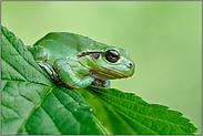 nicht immer nur grün... Europäischer Laubfrosch *Hyla arborea*