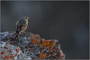 letztes Licht... Alpenbraunelle  *Prunella collaris*