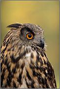 orangefarbene Augen... Europäischer Uhu *Bubo bubo*