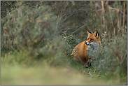versteckt im Gebüsch... Rotfuchs *Vulpes vulpes*
