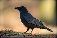 schwarzer Vogel...Rabenkrähe *Corvus corone*