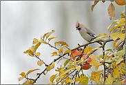 Appetit im Apfelbaum... Seidenschwanz *Bombycilla garrulus*