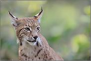 soft... Eurasischer Luchs *Lynx lynx*