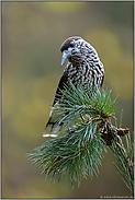 ein Vogel mit Vorlieben... Tannenhäher *Nucifraga caryocatactes*