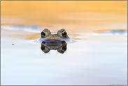 Wasserspiegelungen... Erdkröte *Bufo bufo*