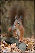 vorsichtig... Eichhörnchen *Sciurus vulgaris*
