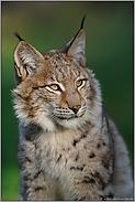 der Kuder... Eurasischer Luchs *Lynx lynx*