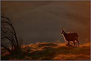 warmes Licht... Gämse *Rupicapra rupicapra*