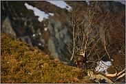 Schneefelder... Gämse *Rupicapra rupicapra*