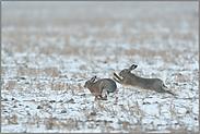 wilde Hatz durch den Schnee... Feldhasen *Lepus europaeus*