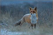 leise rieselt der Schnee... Rotfuchs *Vulpes vulpes*