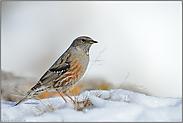 der Schnee taut... Alpenbraunelle  *Prunella collaris*