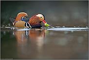 Frischkost... Mandarinente *Aix galericulata*