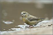 ein Jungvogel... Kiefernkreuzschnabel *Loxia pytyopsittacus*