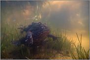Huckepack... Erdkröten *Bufo bufo*