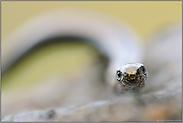 Echsenaugen... Blindschleiche *Anguis fragilis*