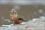 Papageienschnabel... Kiefernkreuzschnabel *Loxia pytyopsittacus*