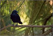 wachsam... Rabenkrähe *Corvus corone*
