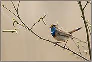 Frühlingsgesang... Blaukehlchen *Luscinia svecica*