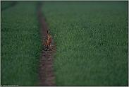 der Weizen spießt... Feldhase *Lepus europaeus*