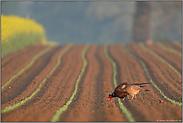 in der Feldflur... Fasanenhenne mit Fasan *Phasianus colchicus*