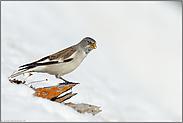 Frühling... Schneesperling *Montifringilla nivalis*