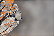an der Felswand... Schneesperling *Montifringilla nivalis*