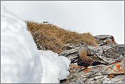 Schneemassen... Alpenbraunelle  *Prunella collaris*