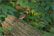kleiner bunter Vogel... Gartenrotschwanz *Phoenicurus phoenicurus*