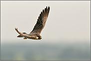 der Ruf... Wanderfalke *Falco peregrinus*