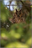 große orangegelbe Augen... Waldohreule *Asio otus*