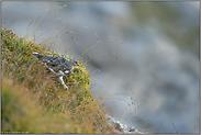 im Sommerkleid... Alpenschneehuhn *Lagopus muta*