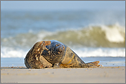 Strandvergnügen... Kegelrobben *Halichoerus grypus*