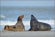 Weibchen und Männchen... Kegelrobben *Halichoerus grypus*