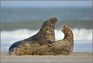 aufspritzender Sand... Kegelrobben *Halichoerus grypus*