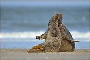 Tanz der Robben... Kegelrobben *Halichoerus grypus*