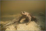 erste Versuche... Erdkröte *Bufo bufo*