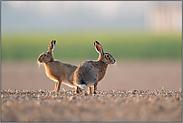 zwei Hasen auf dem Acker...  Feldhasen *Lepus europaeus*