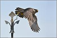 Kirchgänger... Wanderfalke *Falco peregrinus*